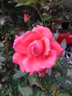 Pink Rose in November/photo by Linda Guy Phillips