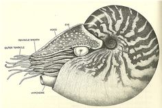 Scientific Illustration — cittamani: Scanned from Ward, P.D. (1988). In...