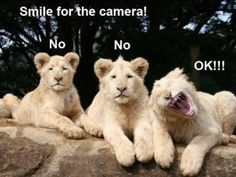 Lions posing for the camera