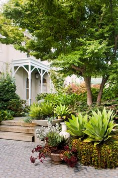 Luxurious sub-tropical Melbourne garden:The entry garden displays layered texture, with a transplanted Japanese maple, *Agave attenuate*, assorted succulents and soft underplanting.