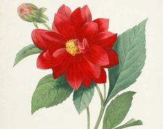 Botanical Print Redoute Flower hortensia hydrangea Art Print