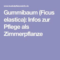 Gummibaum (Ficus elastica): Infos zur Pflege als Zimmerpflanze