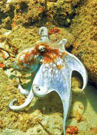 """Octopus. From """"Spineless Wonders of the Sea"""" article."""