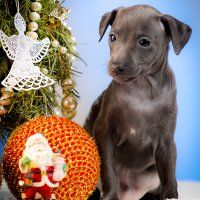 Italian Greyhound Puppies Kennel Flora Style Shenki Italyanskaya Borzaya Borzye