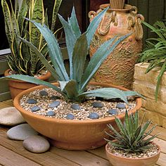 Agave - Spectacular Container Gardening Ideas - Agave Use decorative ground covers to jazz up your potted plantings. A potted blue agave surrounded by pebbles serves as a living sculpture on this deck. Succulents In Containers, Container Plants, Cacti And Succulents, Watering Succulents, Container Gardening Vegetables, Potted Plants, Balcony Garden, Garden Pots, Vegetable Garden