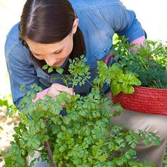 Woman harvesting Cilantro.