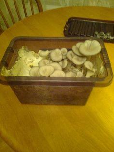 Growing mushrooms in a tub