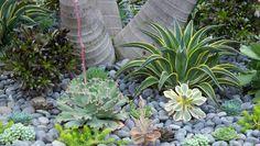 A ruffly Echeveria hybrid and a large variegated Agave 'Joe Hoak'.