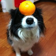 Border Collies are so DARN smart! Totally used to do this stuff with Bailey