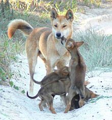 Adult Dingo with puppies. The dingo is a free-roaming wild dog unique to the continent of Australia. They play an important role in Australia's ecosystems; they are apex predators and the continent's largest terrestrial predator. Dandie Dinmont Terrier, Beautiful Creatures, Animals Beautiful, Cute Animals, Wild Animals, Doberman Pinscher, Maned Wolf, African Wild Dog, Wild Dogs