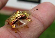 Жук Золотая Черепаха (Charidotella sexpunctata) — широко распространенное в Северной Америке насекомое размером в 5-7 миллиметров