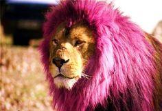 ライオン9