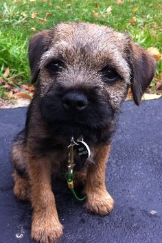 Oh God. Cute Dogs Breeds, Best Dog Breeds, Best Dogs, Border Terrier Puppy, Terrier Dogs, Dog Photos, Dog Pictures, Cute Boarders, Cute Animal Photos