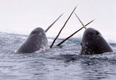 Narwhal | narwhal, why not?