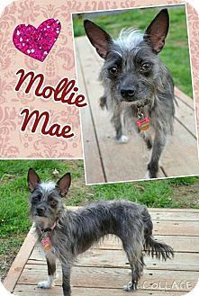 Fenton, MO - Chihuahua Mix. Meet Mollie Mae, a dog for adoption. http://www.adoptapet.com/pet/12786816-fenton-missouri-chihuahua-mix