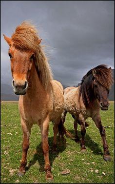 Horses on Iceland. Photo Credit: Kelly Baetsen