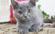 Télécharger fonds d'écran 4k, le British Shorthair, chat, chaton, animaux mignons, les chats