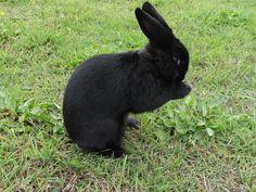 Венский чёрный кролик