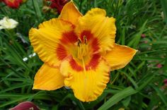 Daylily (Hemerocallis 'Tiger Parade') in the Daylilies Database (All Things Plants)