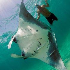 Swiming with a Manta ray