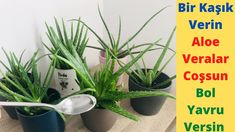 Aloe Vera, House Plants, Youtube, Gardening, Jars, Container Gardening, Plants, Lawn And Garden, Indoor House Plants