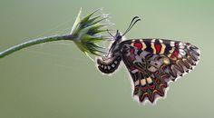 Zerynthia rumina (Spanish Festoon, spaanse pijpbloemvlinder) by Rob Blanken (www.rbblphotography.com), via Flickr