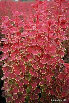 Garden Shrubs, Veg Garden, Landscaping Plants, Summer Garden, Shade Garden, Garden Plants, Japan Garden, Pergola Garden, Backyard