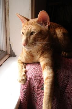 Nothing like the combination of an orange tabby in a Siamese body.  I'd love to see the combination of those two personalities.