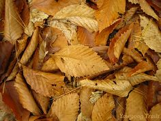 American beech (Fagus grandifolia) leaves on the Yellow Trail at Camp #Yawgoog.  A 2014 image by David R. Brierley.