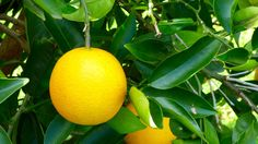 Photo of the Week - Orange ripe fot the picking