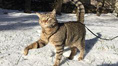 King winter cat