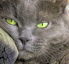 gatto certosino - 16 anni Portia bene Chartreux cat - 16 years carried well