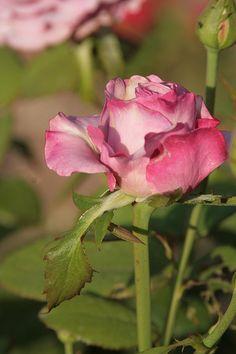 Taken: 08/03/2012  Minnesota Landscape Arboretum  Rose Garden  Neptune Rose  Season: Summer