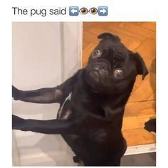 Video by insta: bribrithepug 🎥 Cute Pugs, Cute Funny Animals, Cute Baby Animals, Funny Cute, Funny Dogs, Animals And Pets, Cute Puppies, Animal Jokes, Funny Animal Videos