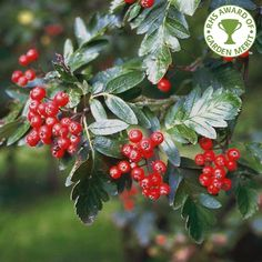 Sorbus hybrida 'Gibbsii' Mountain Ash Tree, How To Grow Taller, Types Of Soil, Natural Shapes, Small Trees, Red Berries, How To Level Ground, White Flowers