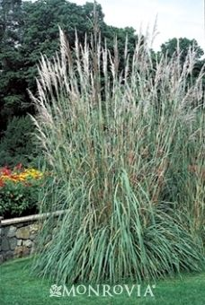 Lanscaping on pinterest grasses shrubs and trees for Best tall grasses for privacy
