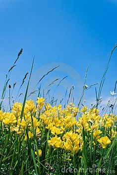 Photo about Yellow flowers growing in the field against clear blue sky. Image of flower, nature, flowers - 19714804 Clear Blue Sky, Yellow Flowers, Fields, Stock Photos, Nature, Plants, Photography, Image, Naturaleza