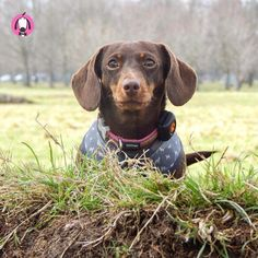 with Penny in the park! Animal Pictures, Cute Pictures, Pet Boutique, Mini Dachshund, Weenie Dogs, Bow Wow, Pet Shop, Labrador Retriever, Cute Animals