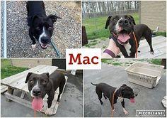 Henderson, NC - Pit Bull Terrier. Meet Mac a Dog for Adoption.