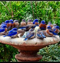A bird bath full of Bluebirds! All Birds, Little Birds, Love Birds, Angry Birds, Pretty Birds, Beautiful Birds, Animals Beautiful, Cute Animals, Funny Animals