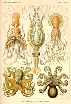 Gamochonia - Kunstformen der Natur (1900)