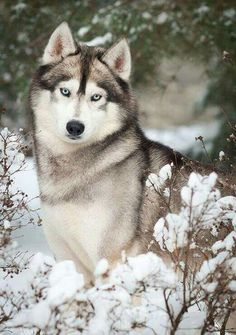 Great wolf...