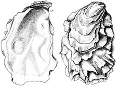 Look for live oysters with a fresh, sea salt smell. Avoid individuals that give off a sulforous or rotting odor. If the shell is slightly op. Art And Illustration, Drawing Sketches, Art Drawings, Shell Drawing, Oyster Shells, Shell Art, Skin Art, Art Inspo, New Art