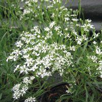 Graines de fleurs GYPSOPHILE ETOILE D'ARGENT (Gypsophila fastigiata)…