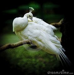 Peacock by Cornelius20, via Dreamstime