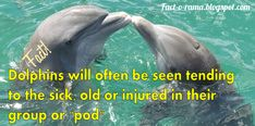 Dolphin Facts - Amazing facts about dolpins you never knew - Did you know that dolphins are often seen tending to the sick, old or injured in their pod. Fact-o-Rama You Never Know, Did You Know, Dolphin Facts, Dolphin Family, How To Stay Awake, Killer Whales, Amazing Facts, Dolphins, More Fun