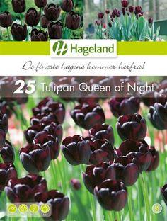 Bilde av Tulipa Queen of Night