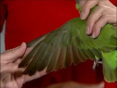 We recommend that you visit your local Avian Veterinarian for your first wing and nail clipping! Budgie Parakeet, Budgies, Cockatiel, Parrot Wings, Bird Wings, Pretty Birds, Beautiful Birds, Pineapple Conure, African Grey Parrot