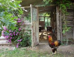 George the handsome brahma rooster and the clematis. The chicken shed at the gardens of La Ferme de Sorrou, Bourrou, France.