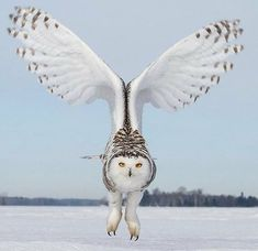 Snowy owl 😊🦉 Photography by ©Jack Fortier Owl Photos, Owl Pictures, Snowy Owl, Beautiful Owl, Animals Beautiful, Beautiful Pictures, Animals And Pets, Cute Animals, Photo Animaliere